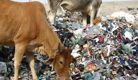 Gau Mata : The Plastic Cow