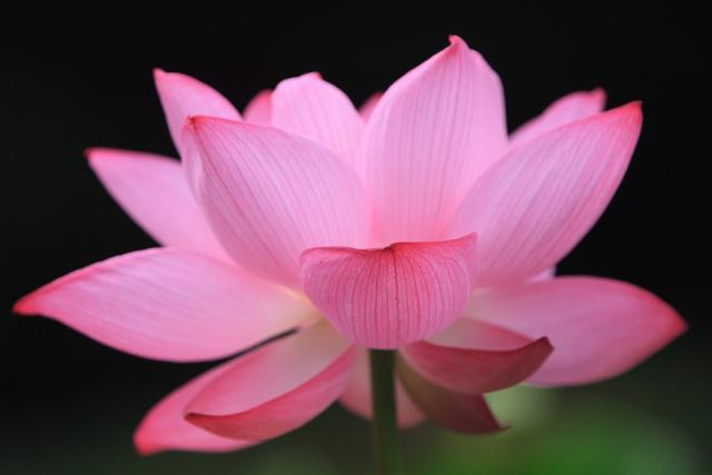 the significance of the lotus  hindu human rights online news, Beautiful flower