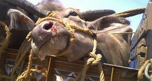 Cow thefts on the rise in India: For new breed of rustlers, nothing is sacred
