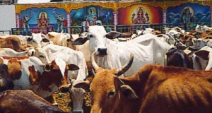 In the land of the holy cow, fury over beef exports