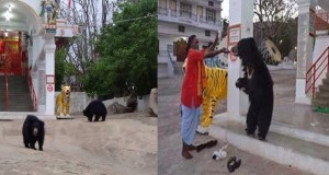 Video : Bears Visiting Chandi Mata Temple at Aarti