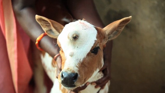 Calf Born With Three Eyes Named After Lord Shiva | Hindu ...