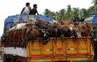 Maharashtra bans beef, 5 years jail, Rs 10,000 fine for possession or sale