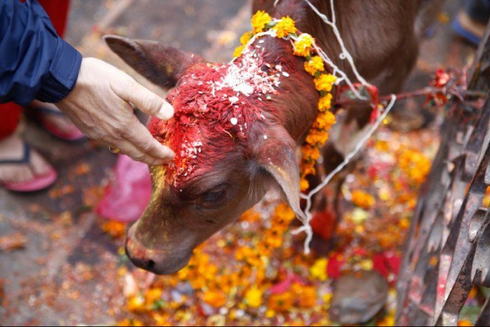 HHR Video : Cow's Head Left at Hindu Sanctuary in US