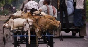 Himachal Pradesh High Court tells Centre to ban cow slaughter, sale of beef within six months