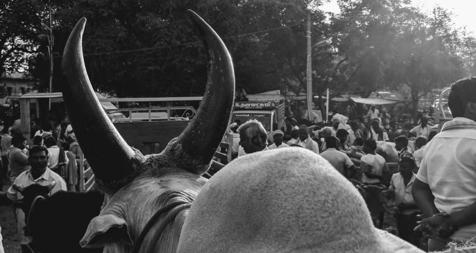 Jallikattu Ban: 'Send Them to the Butchers' Is Now the Only Option