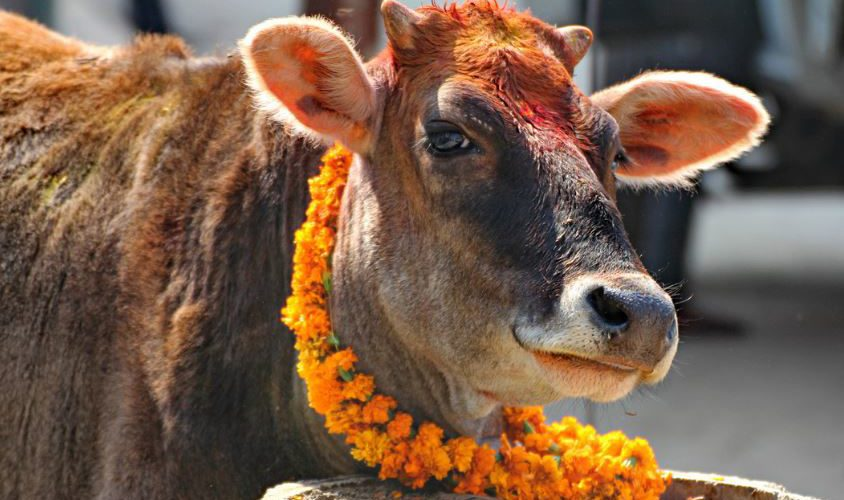 Two Get Five Years Imprisonment For Cow Slaughter in UP