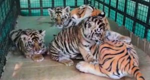 Video : Indian orphaned tiger cubs given fake Mum Tiger